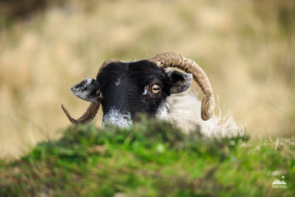 Les petits moutons irlandais