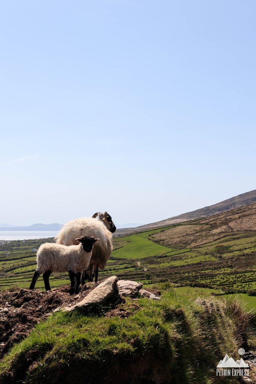 Pas de macareux, mais toujours des moutons partout