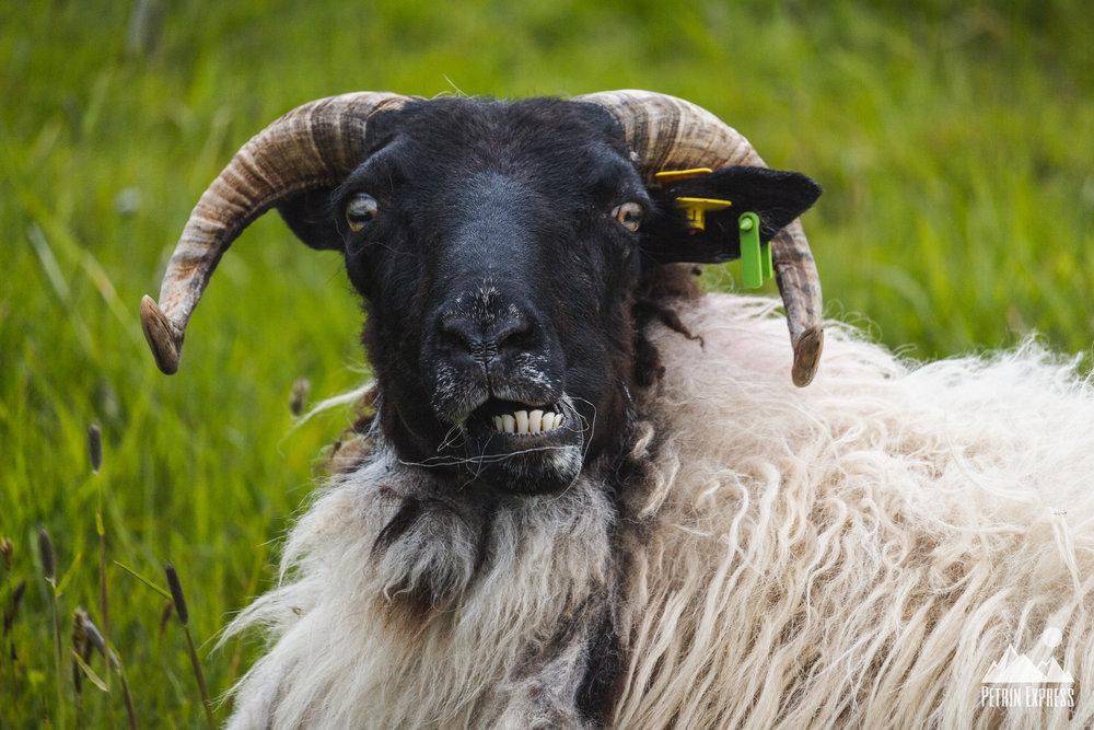 Irlande mouton