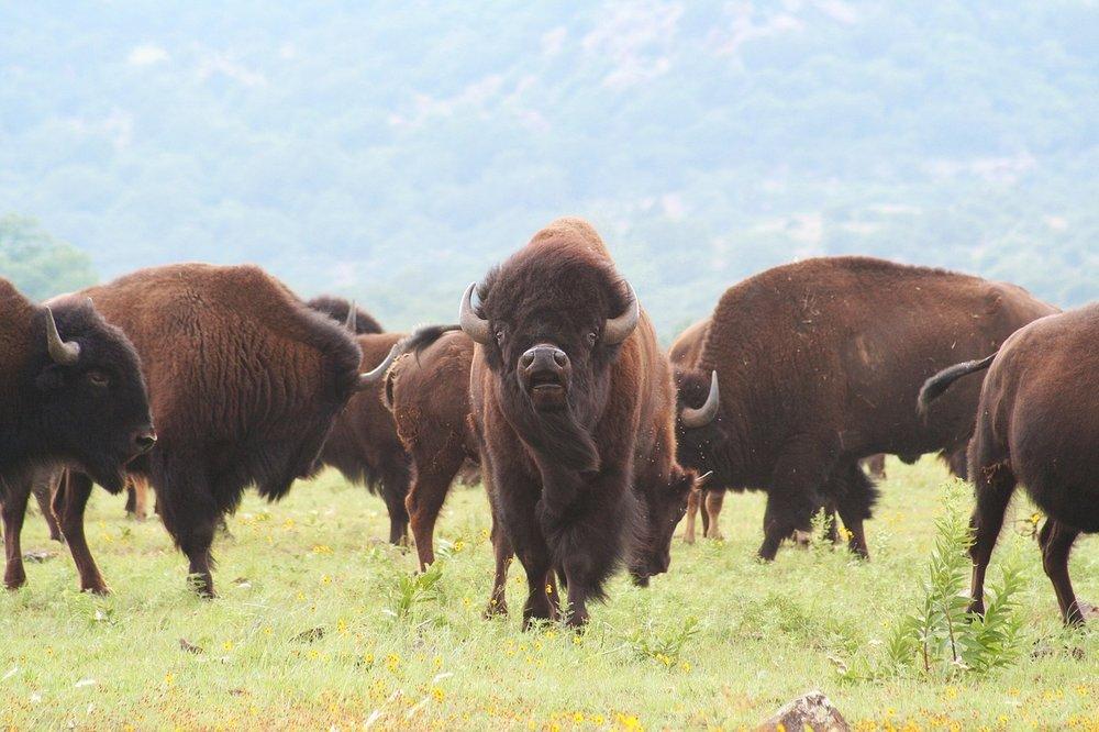 buffalo-1436182_1280.jpg