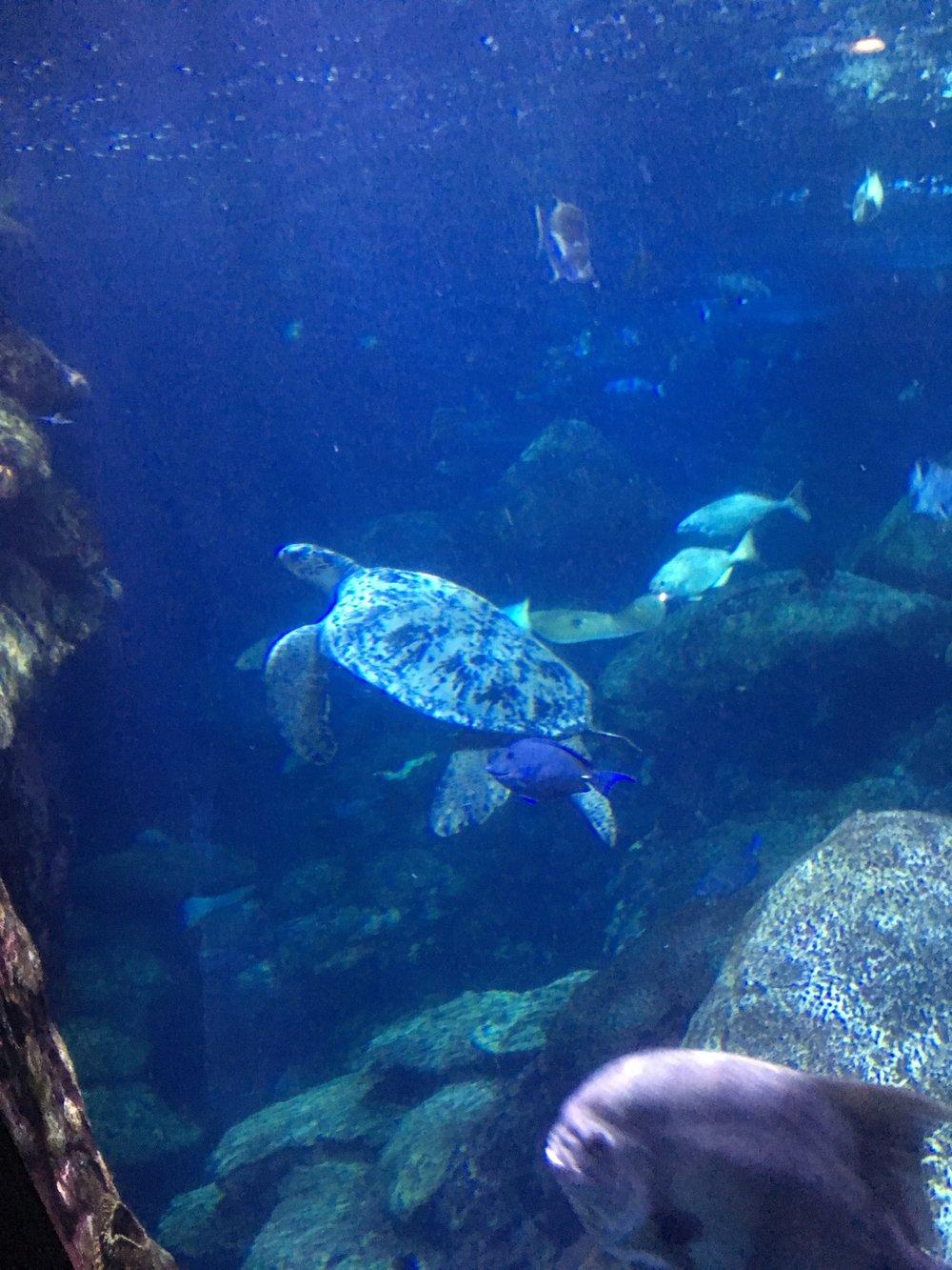 sea turtle chattanooga.JPG