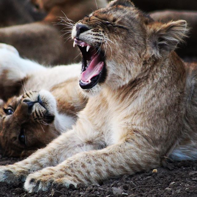 #tbt on that game drive where, no surprise at all, the cats were at various stages of wakefulness. This #newyear I am striving for less yawns and more action, less procrastination and more accomplishments. More #awareness #wildlifeconservation and #education. I'll leave the sleeping to the #bigcats #lions #leopards #cheetahs ❤️