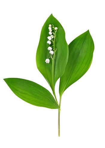 Maiglöckchen Blüten und Blätter
