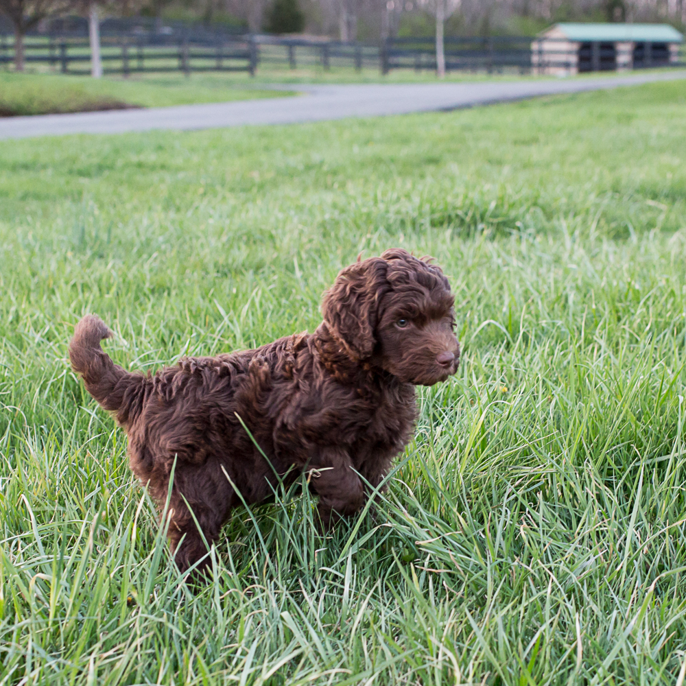Chocolate Labradoodle Puppy