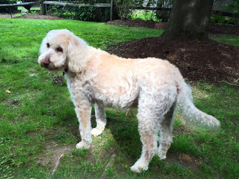 Certified Therapy Labradoodle