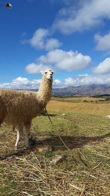 alpaca-1152727_640.jpg