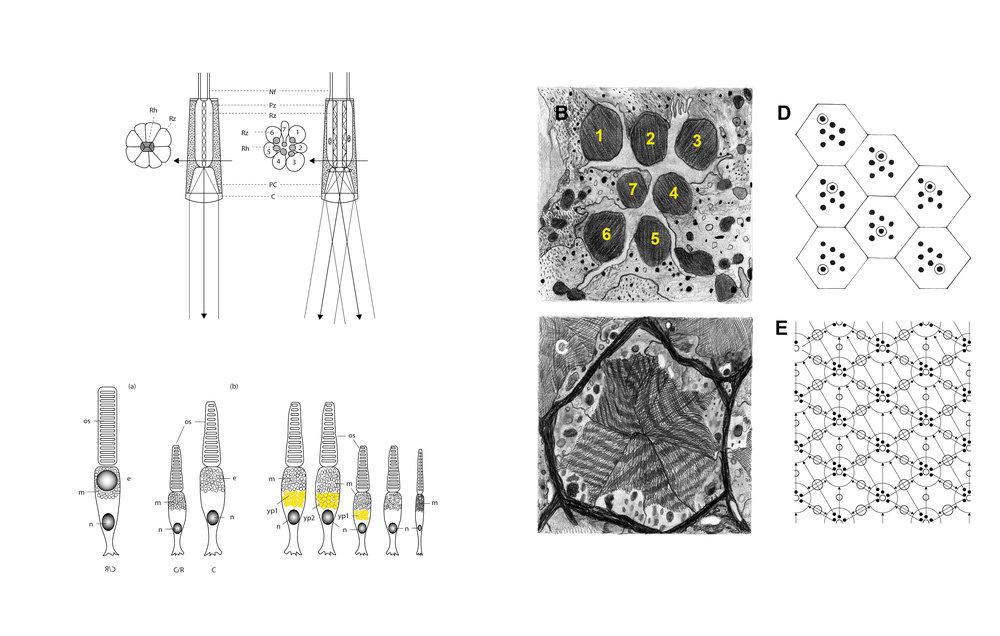 Andrea Galvani © Study on Photoreceptors for N-1_2006.jpg