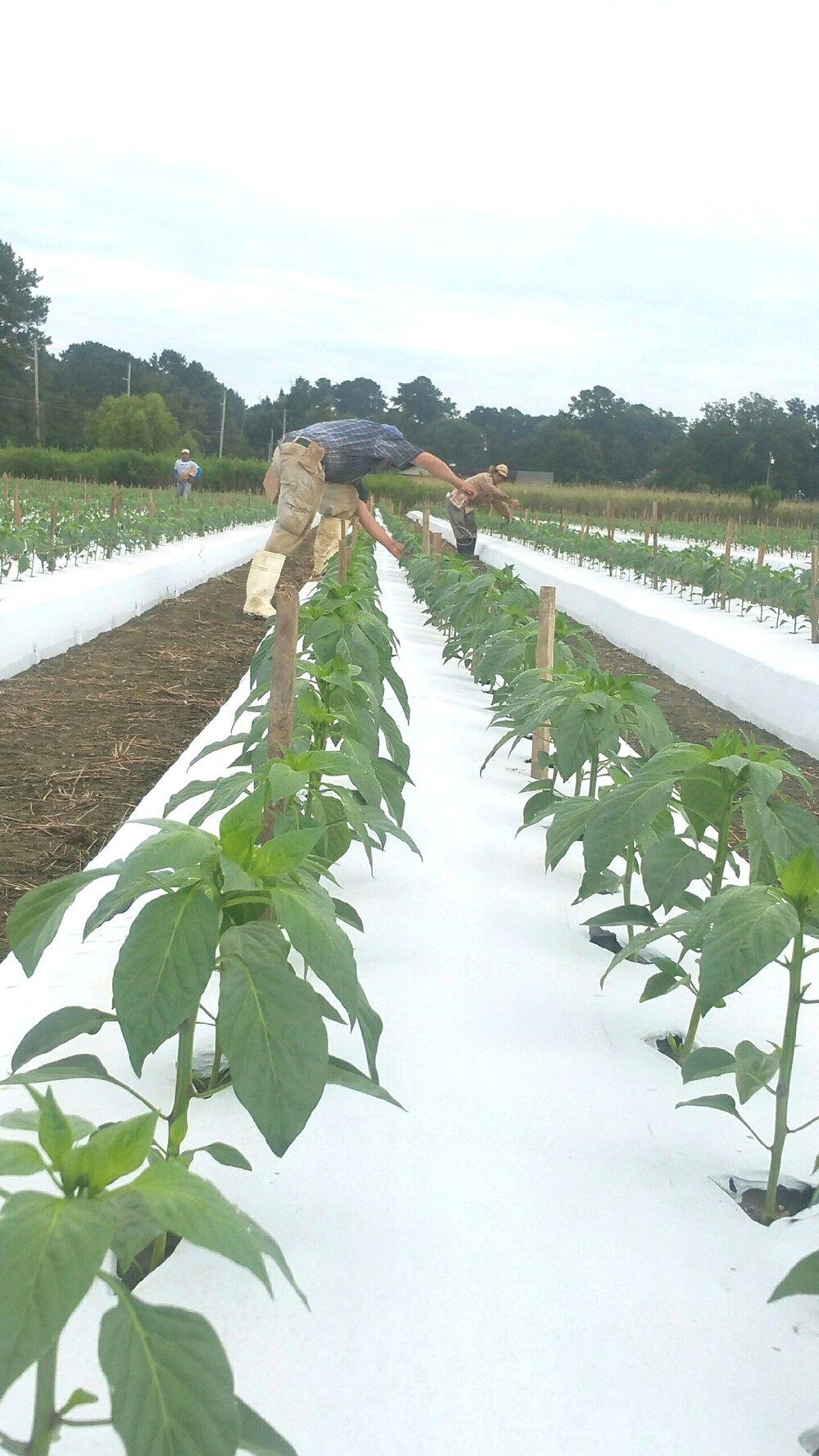 crops59439.JPG