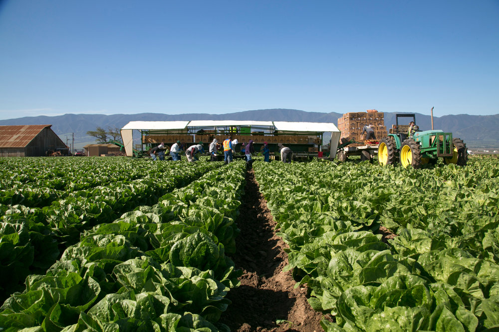 Pacific_harvestingRomaine.jpg