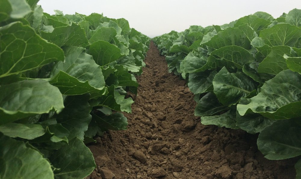 ROMAINE ADVISORY UPDATE -