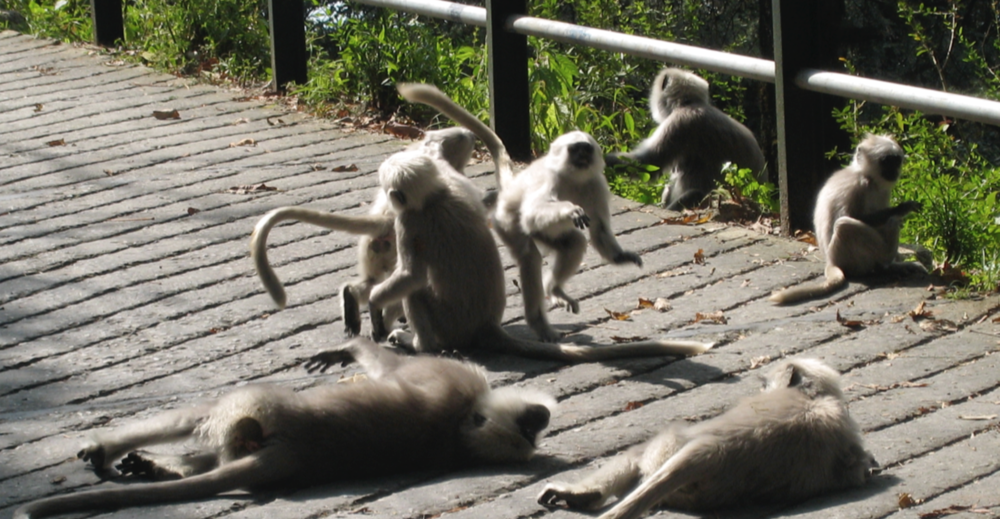 Langur monkeys playing. Mussoorie, India. Photo by Marianne Maeckelbergh.