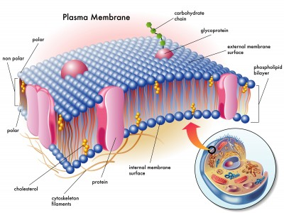 plasma-membrane.png
