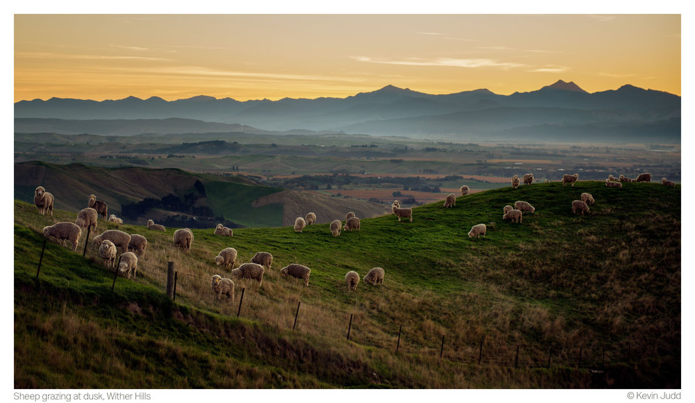 Sheep grazing at dusk, Wither Hills 2.5K.jpg