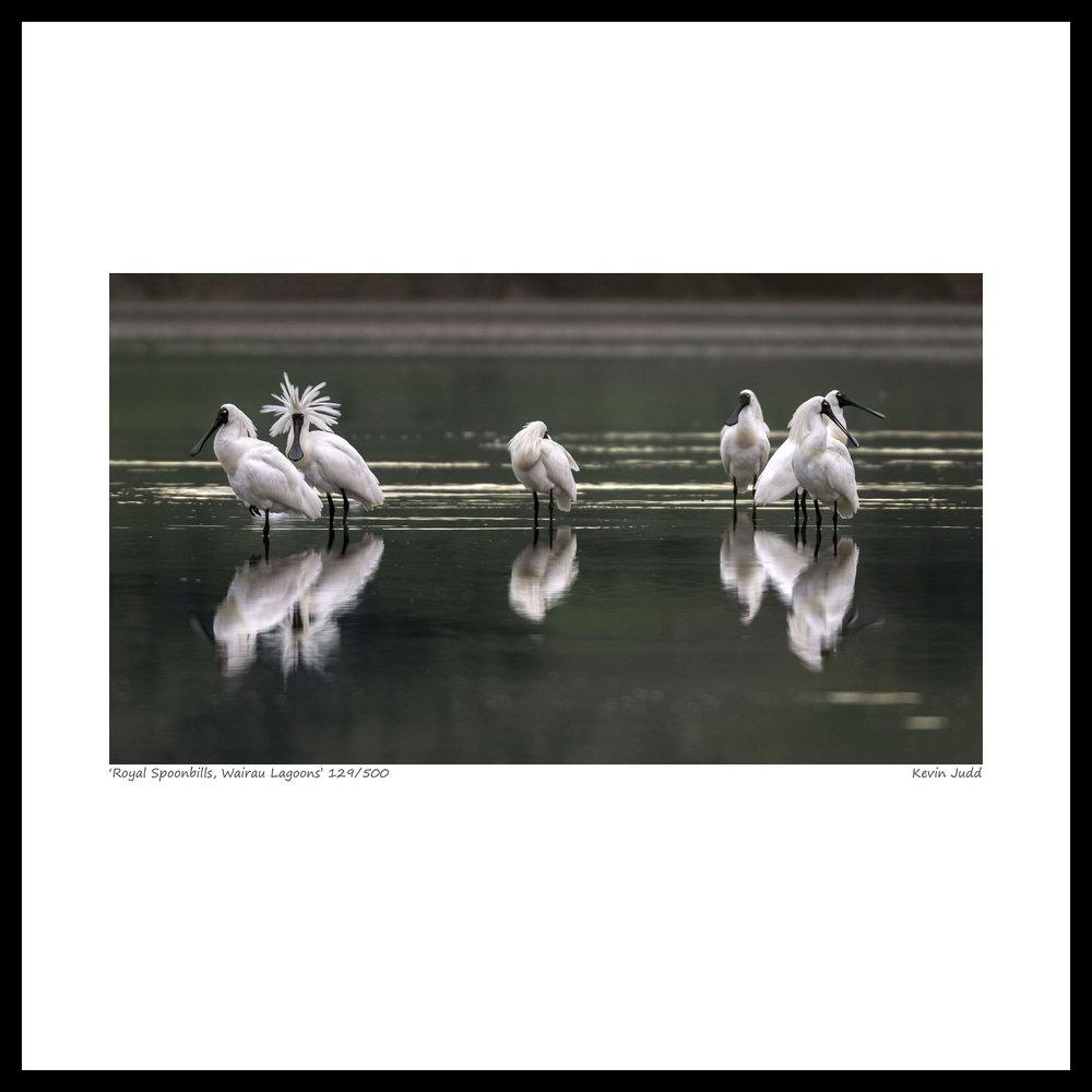 032 Royal spoonbills, Wairau Lagoons