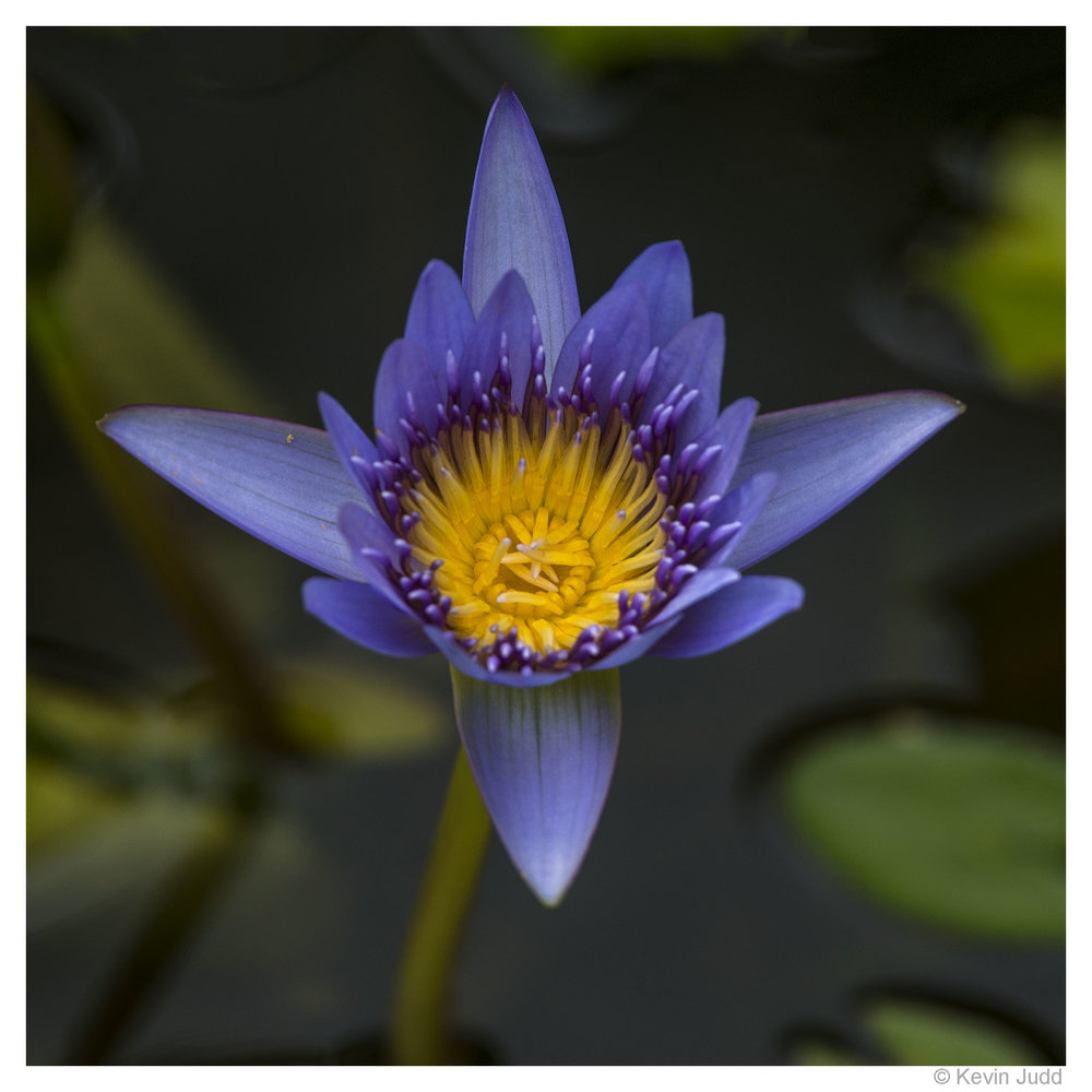 2 Cape blue water lily.jpg