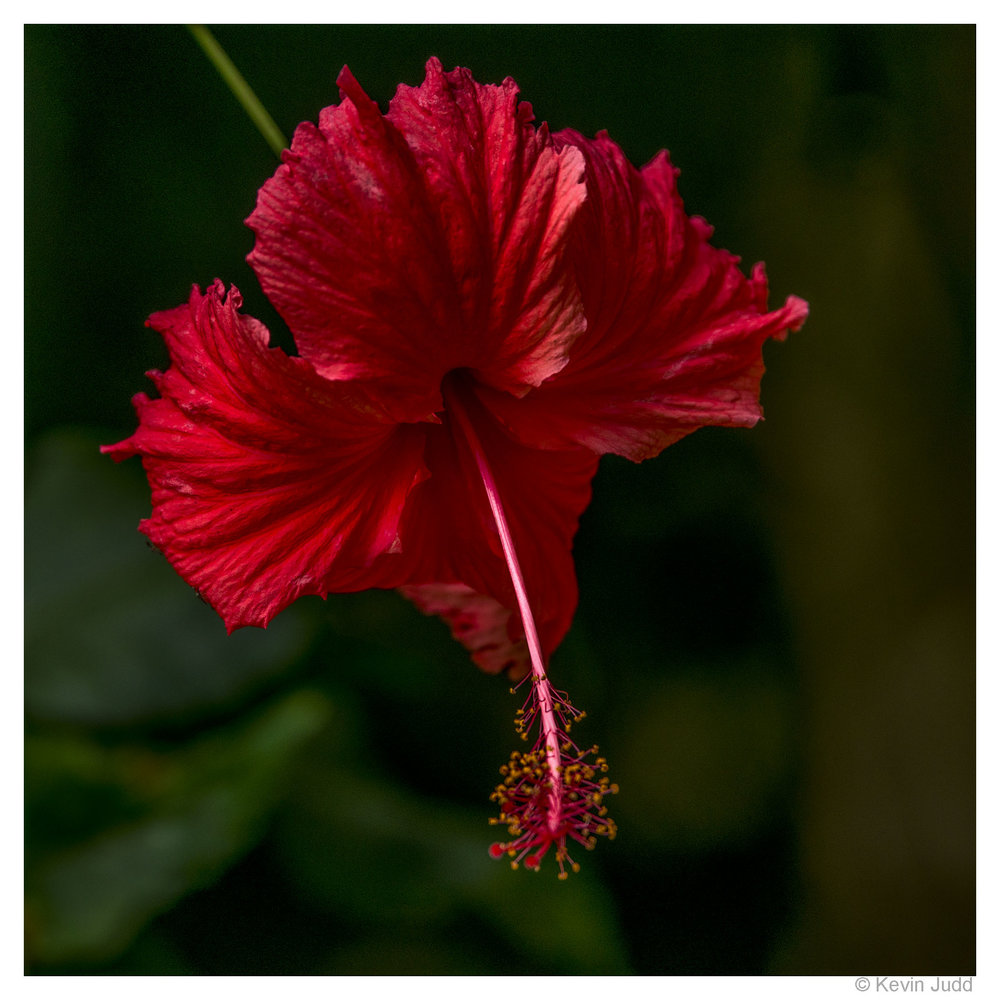 1 Hibiscus.jpg