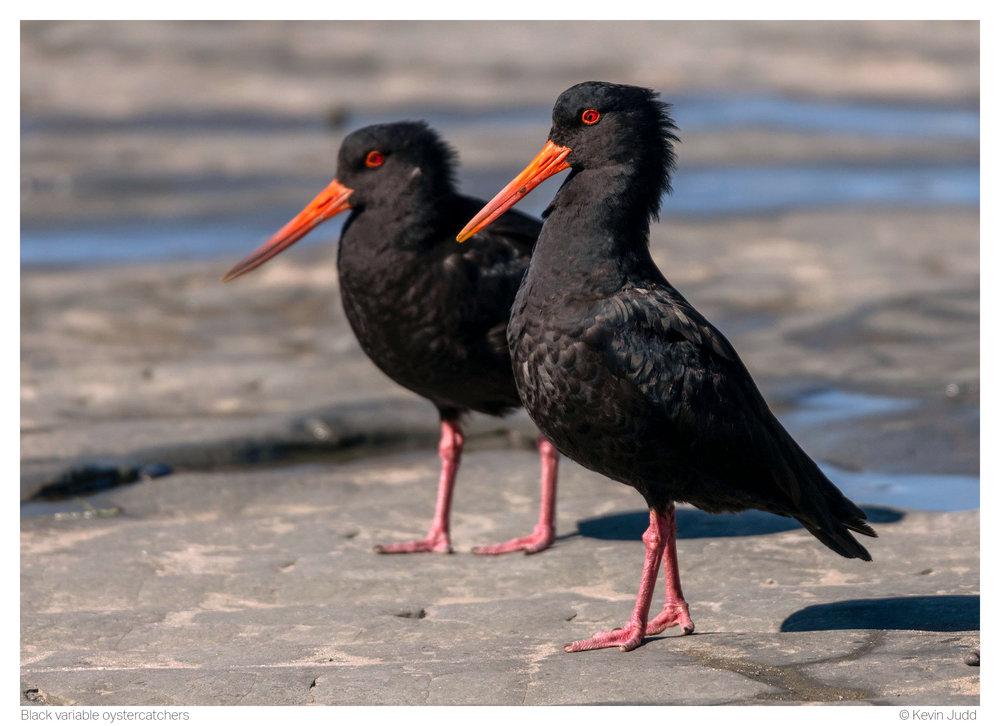 Black variable oystercatchers.jpg