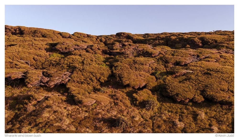 Wharariki wind blown bush 2.jpg