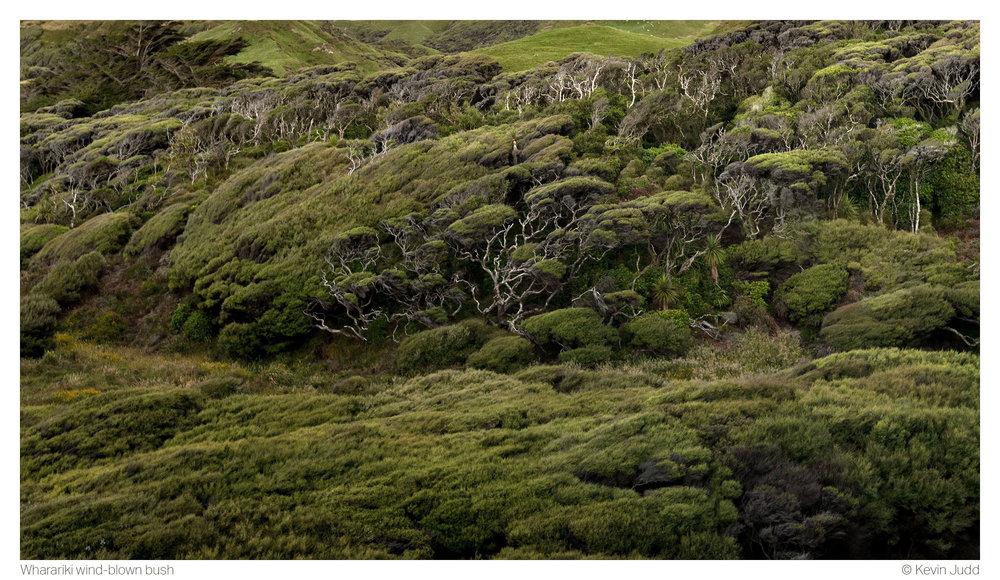 Wharariki wind-blown bush 2.jpg