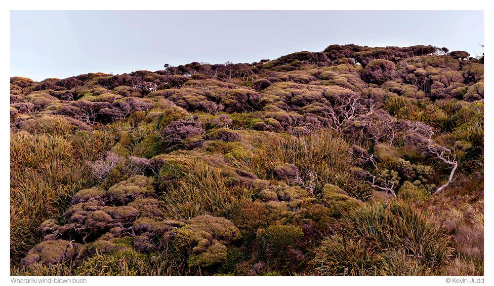 Wharariki wind-blown bush.jpg