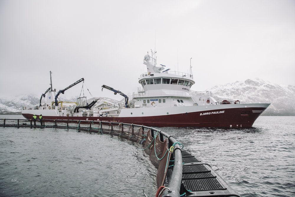 BB Bjørg Pauline transports the live salmon from the aquaculture farm to the processing facility on Børøya.