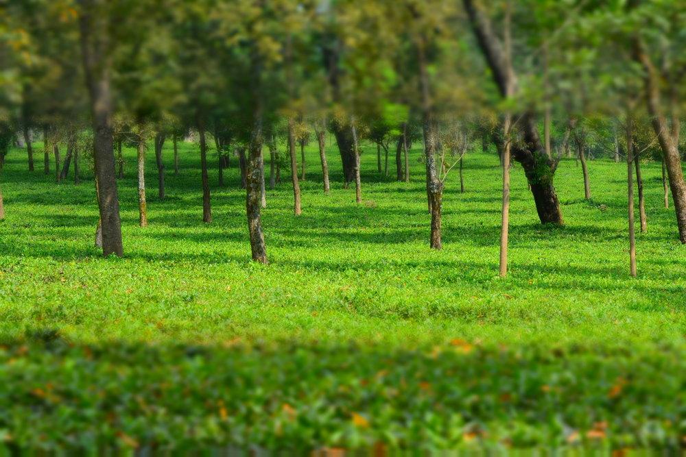 Wah Tea Estate