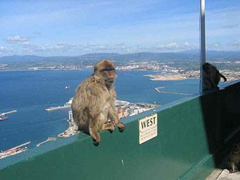 Gibraltar_Affe.jpg