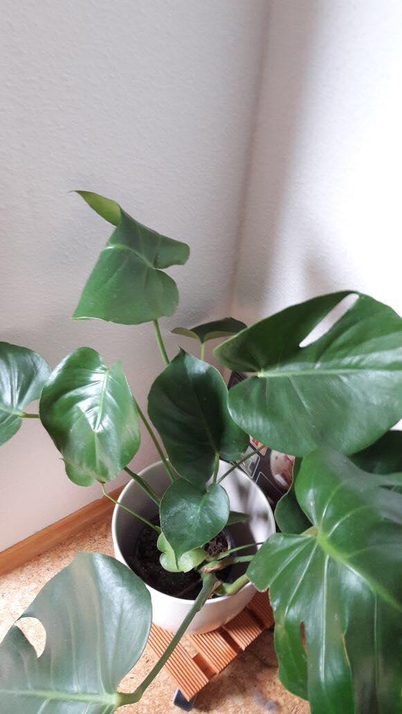 Monstera  oder auch Fensterblatt - ist ja kaum zu übersehen, dass diese Zierpflanze seit geraumer Zeit ein echtes Revival erlebt. Sie ist auch sehr geduldig und bildet zur Sicherheit :-) lange Luftwurzeln, falls es mal wieder länger dauert. Ausgewachsen ist sie ein prima Luftfilter und erzeugt mit ihren großen Blättern im Sommer tolle Schattenspiele an der Wand.
