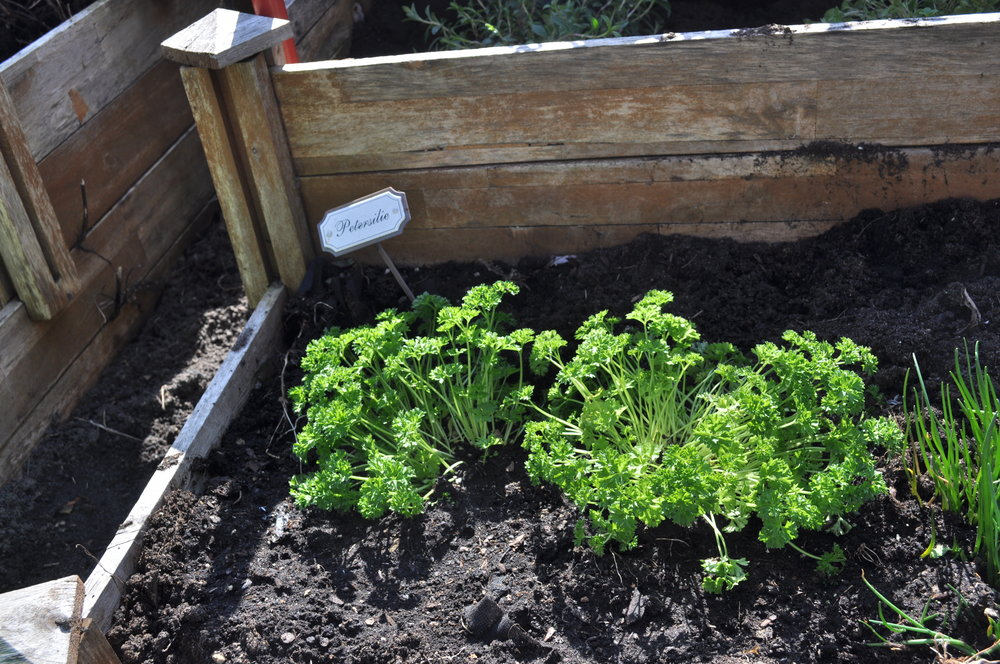 Die gute Petersilie ein echter Evergreen in jedem Salat ...