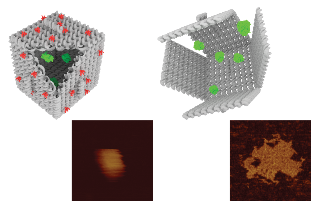 AFM reveals the dimensions of nanoscale DNA origami shells, decorated with Tat proteins (red) to promote their uptake into live cells where they can deliver and release protein cargo (green).