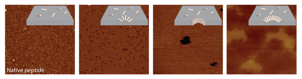 Atomic Force Microscopy data shows changes in the mechanisms of action of a host defence peptide from surface disruption by the native peptide (left) to the creation of large holes (centre left and right) and exfoliation of the bacterial membrane (right).
