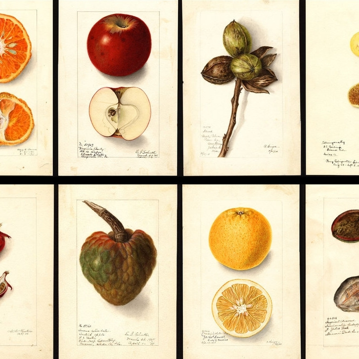 The US Government Commissioned 7,500 Watercolor Paintings of Every Kind of Fruit    Morsel New York — October 2017