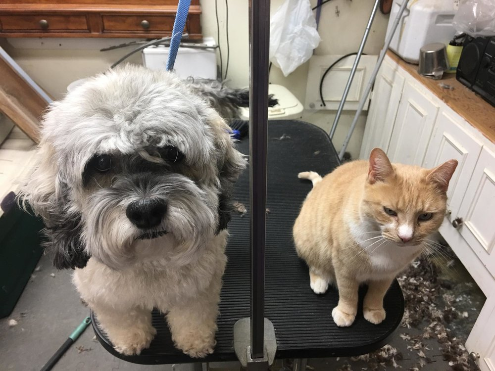 "Cortez the cat ""assists"" in the grooming area"
