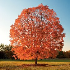 Maple-Trees-Pictures-2.jpeg