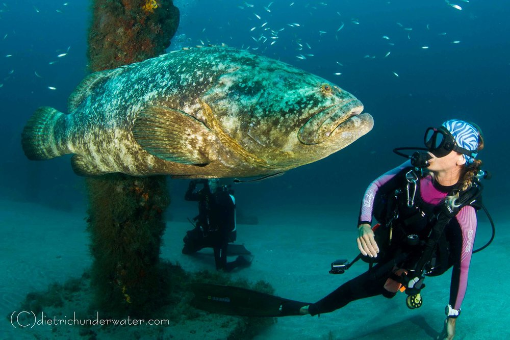 Goliath Grouper Jupiter Fl Scuba Diving.jpg