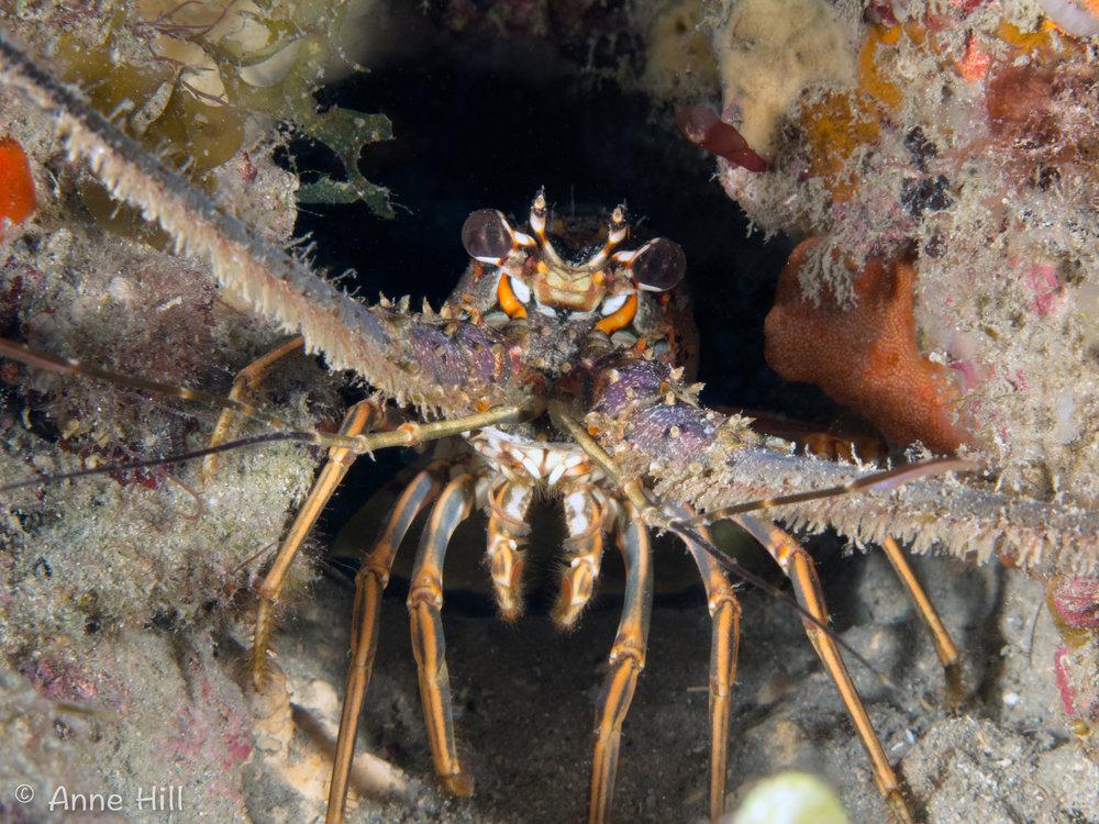lobster (1 of 1).jpg