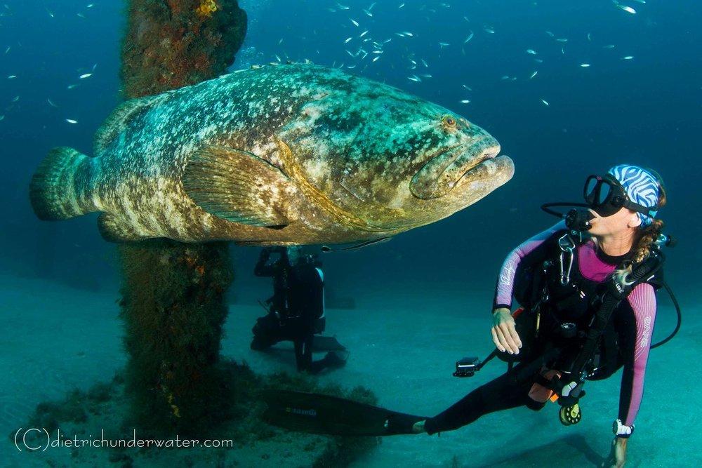 goliath grouper.jpg