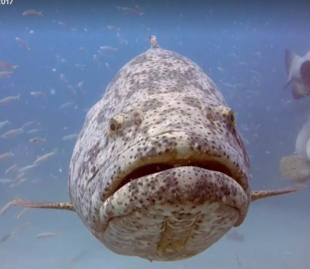 Goliath Grouper.png