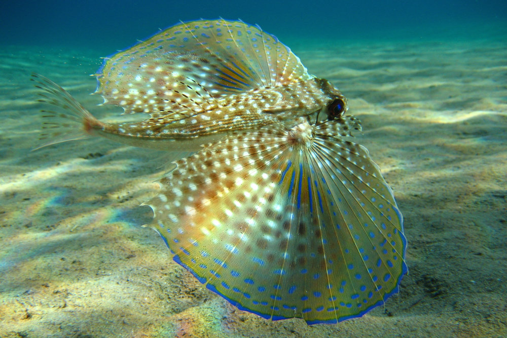 Flying Gurnard