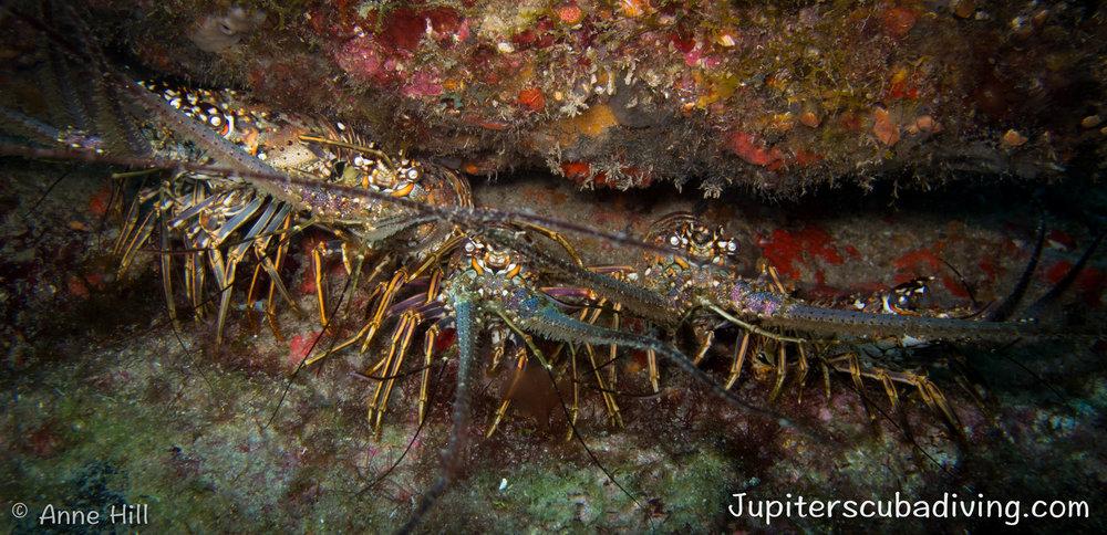 jupsite-lobster3 (1 of 1).jpg