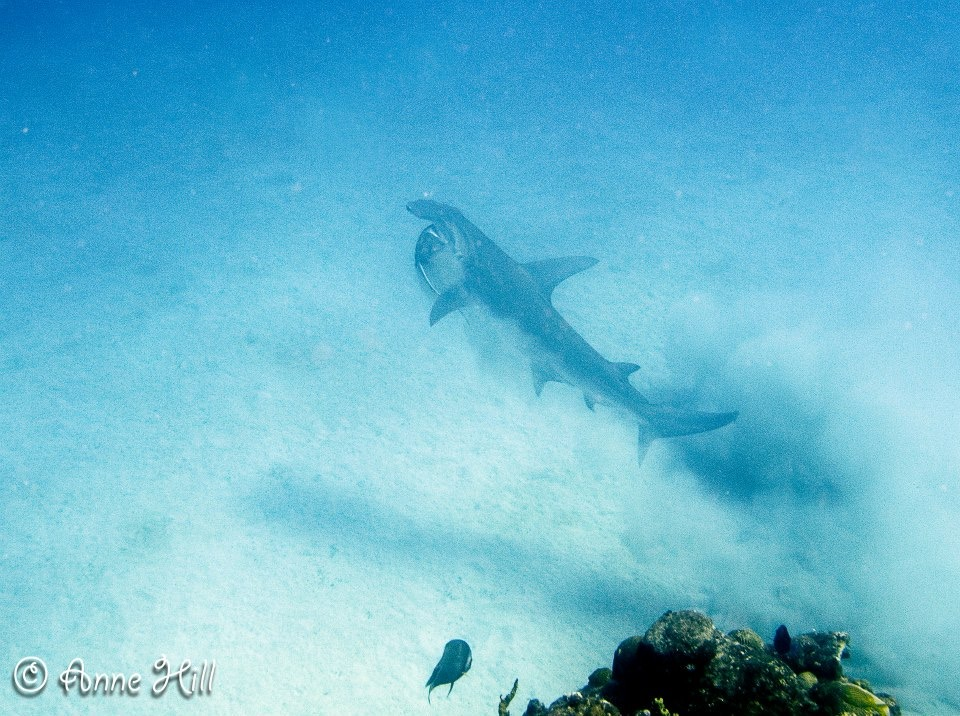Hammerhead Shark with a Stingray in its mouth! Butler Bay, St. Croix, US Virgin Islands