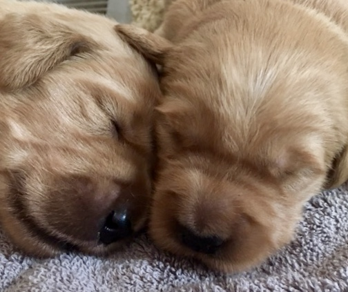 Golden Retriever Puppies Riversbend Kennel