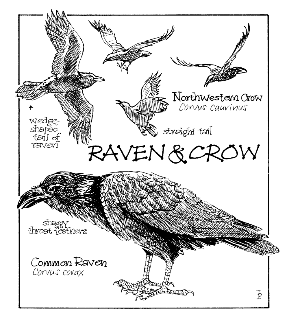 raven and crow copy.png