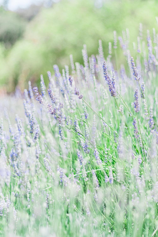 Lavender_Farm-9.jpg