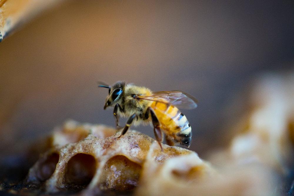 Macro honey bee-1.jpg