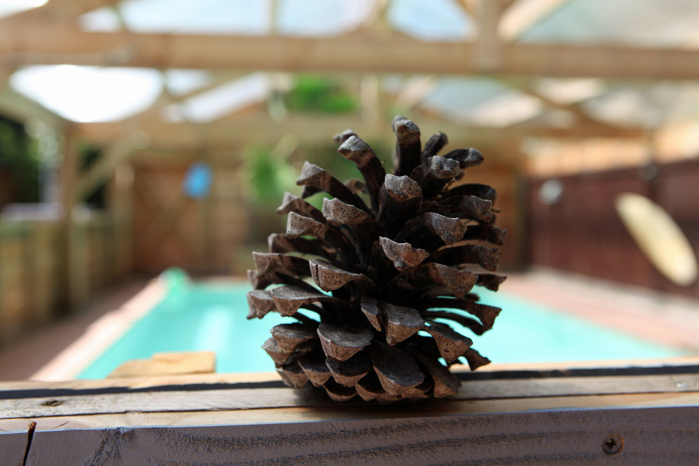 Fat Pine Cone .jpg