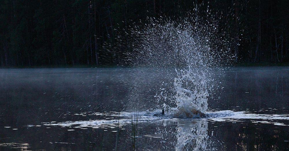 Majava ei pidä tunkeilevasta vieraasta ja yrittää pelotella läiskimällä vettä pyrstöllään.