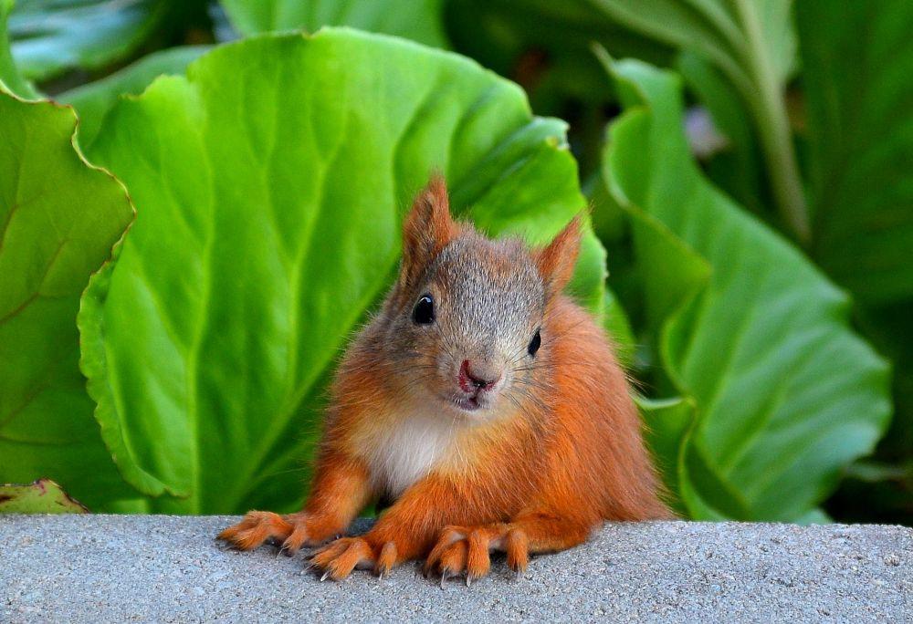 Rokuan oravanpennun haparoivat kiipeily-yritykset päättyivät aina putoamiseen. Parka loukannut nenänsäkin.