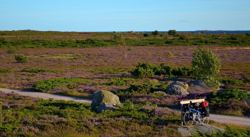 Maisema on karua ja aukeaa. Kanerva värjää näkymät violetiksi.