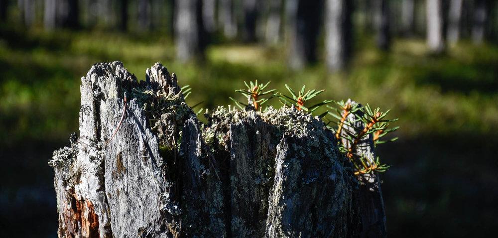 Vanha puunkanto kasvaa vielä pientä elämää.